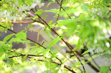 Thai Chameleon on a Wooden tree