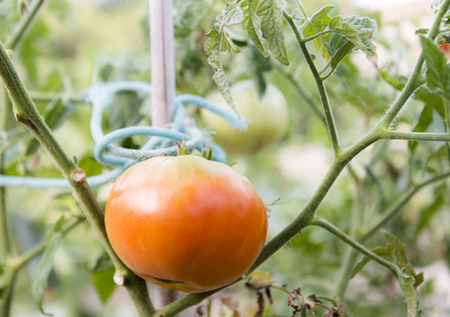 biologic: Tomato on the Bush in a Garden of Spain