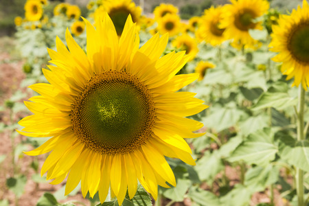 zoomed in: Zoomed of Sunflowers in a Garden in Spain