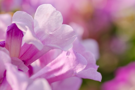 lavender trumpet flower with colorful background photo