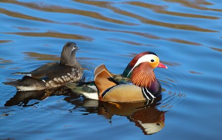 Close up of brightly coloured male and female Mandarin Duck swimming on the water side profile