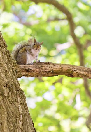 A cute grey gray squirrel sitting on a tree branch looking to camera