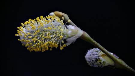 Sal willow (Salix caprea) with black background from above Stock fotó