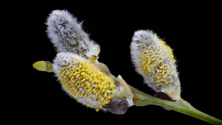 Sal willow (Salix caprea) with black background from below