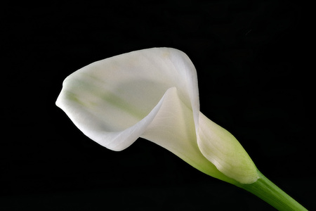 Calla with black background, sideways