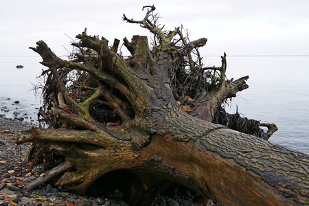 Tree trunk uprooted at the water