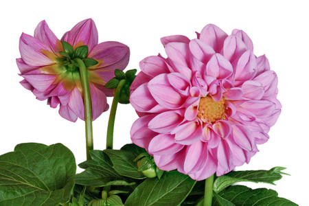 Dahlia from the front and back on a white background Stock Photo