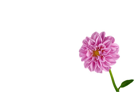 Pink Dahlia on a black background, tilted laterally into the picture