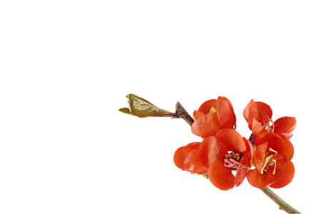 Japanese ornamental quince (Chaenomeles japonica) with white background, from the right