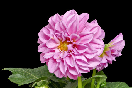 Dahlia from the front and with leaves on a black background, big