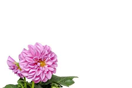 Dahlia from the front and with leaves on a white background, small, left