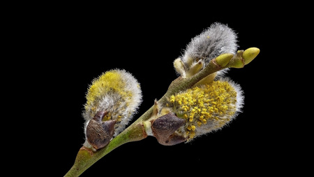 Sal-willow - Salix caprea - with black background, left