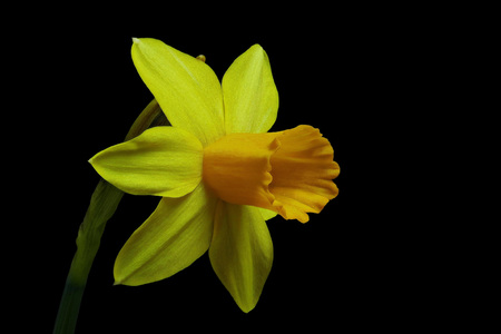 Yellow Daffodil - Easter bell - Narcissus with black background