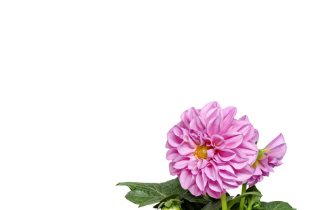 Dahlia from the front and with leaves on a white background, small, right