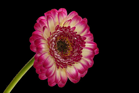 Red, yellow gerbera with black background