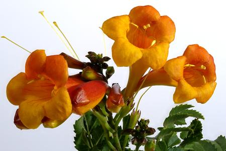 Orange-yellow blossom - Tecoma capensis - on white background, macro