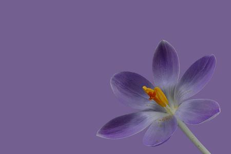 Purple crocus blossom on purple background Stock Photo