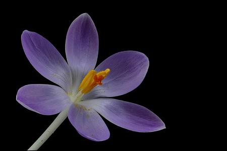 Purple crocus blossom on black background
