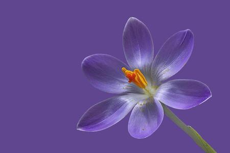 purple crocus flower on purple background from right