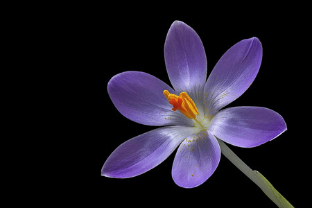 purple crocus flower on black background from left