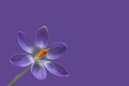 Purple crocus flower on purple background Stock Photo