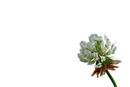 Clover blossom - Trifolium - on a white background Stock Photo