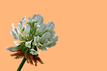 Clover blossom - Trifolium - on an orange background