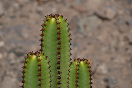 Cacti - Composing against rocky background