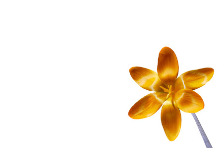 Yellow crocus blossom on white background from the right