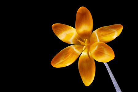 Yellow crocus blossom on black background from the right