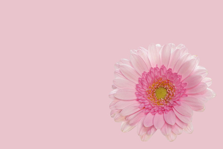 Pink gerbera on pink background - small - right side