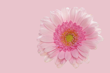 Pink gerbera on pink background - big - right side Stock Photo