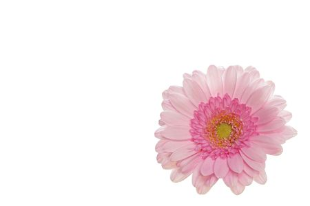 Pink gerbera on white background - small - right side