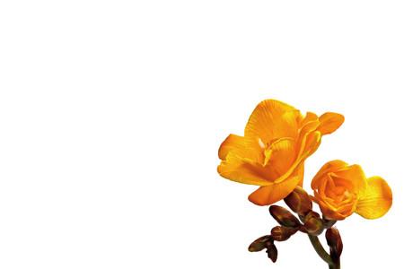 yellow freesia on a white background Stock Photo