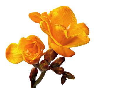 yellow freesia on a white background left Stock Photo