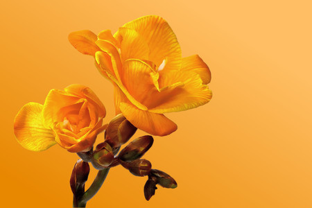 yellow freesia on a yellow background