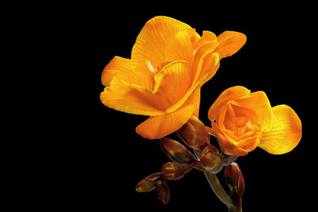 Yellow freesia isolated on a black background Stock Photo