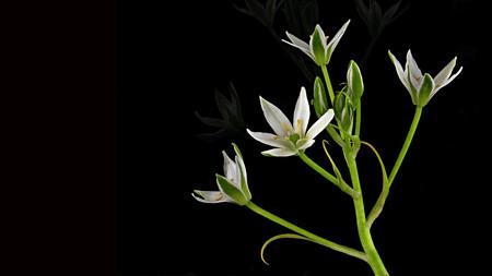 黒い背景に白い星形の花 - 茎の上のいくつか