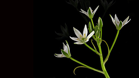white star-shaped flowers on black background - several on a stalk