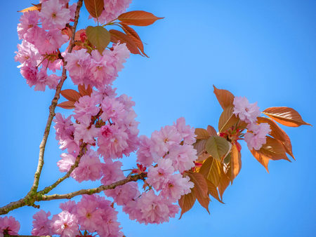 Branch of a Japanese Blossom Cherry - Prunus serrulata - in front of a blue sky