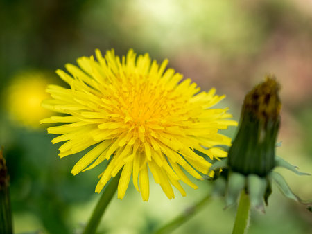 Dandelion - free standing - macro - bud in foreground - on multicolored background Stock Photo