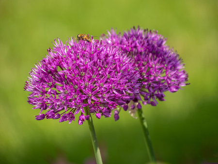 single flower of purple elephant garlic - Allium ampeloprasum Stock Photo