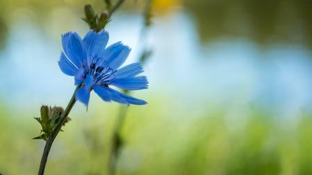 Common chicory - cichorium intybus - Blue flower 版權商用圖片
