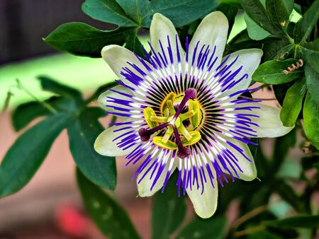 Blue passionflower - Passiflora caeruleaHome is northern Argentina and southern Brazil Stock Photo - 130813322