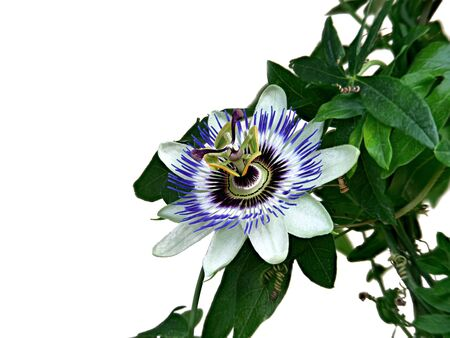 Blue passionflower, Passiflora caerulea, home is northern Argentina and southern Brazil. Banque d'images - 130813334