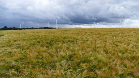 A barley field with many wind turbines on the horizon.