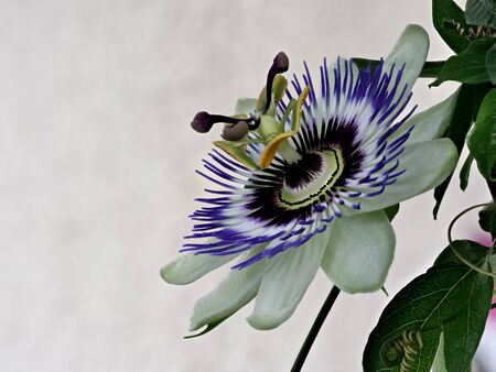 Blue passionflower, Passiflora caerulea, home is northern Argentina and southern Brazil. Banque d'images - 130813340