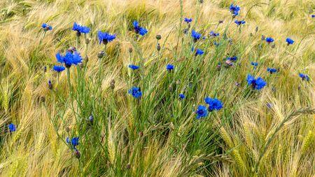 Blue cornflowers (Centaurea cyanus) in a rye field.