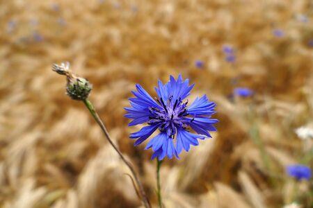 Blue cornflowers (Centaurea cyanus) in a barley field