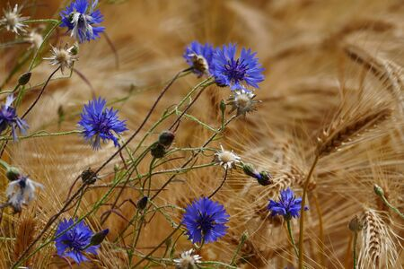 Blue cornflowers (Centaurea cyanus) in a barley field Stock Photo - 130813344
